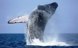 Humpback whales migrate thousands of miles to Costa Rica every year