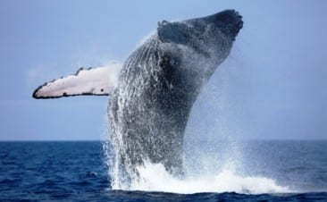Costa Rica whale watching celebrates longest migration on earth