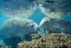 Costa Rica's manatees in Tortuguero are endangered and nearly extinct.