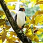Semiplumbeous Hawk sighted at Costa Rica's Veragua Rainforest
