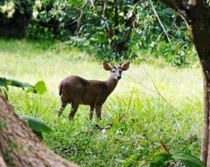White-tailed deer at Curu Wildlife Refuge in Costa Rica