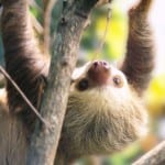 Sloth at Portasol in Costa Rica is protected by environmental law