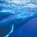 The-Humpbacks-have-arrived-where-to-see-them-in-costa-rica