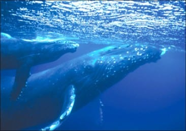 The Humpback Whales have arrived! Best place to see them in Costa Rica.