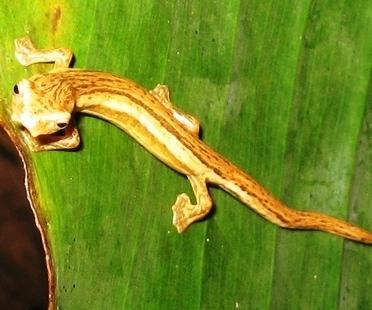 Lungless La Loma Salamander, photo courtesy of InBio Costa Rica