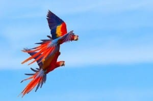 Scarlet Macaw pair in Costa Rica