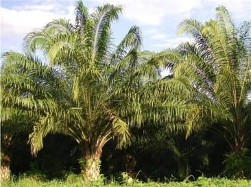 African oil palm research may ease destruction of rainforests