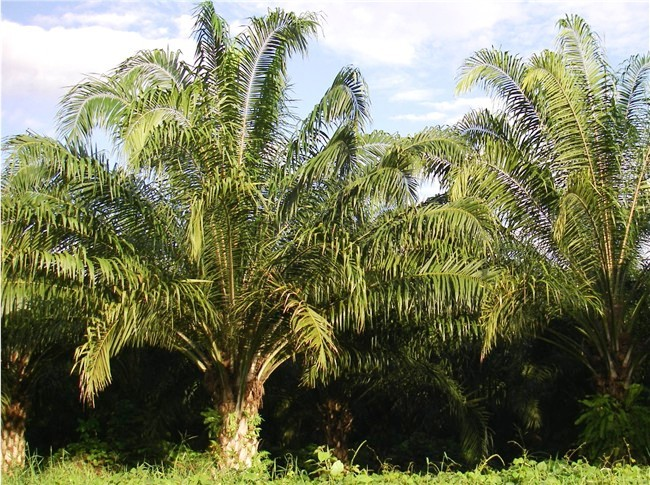 African Oil Palm Research May Ease Destruction Of