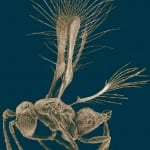 Insect Tinkerbella Nana fairyfly by micrograph, photo by Jennifer Read, Natural Resources Canada