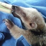 Osa Wildlife Sanctuary anteater baby being fed by bottle