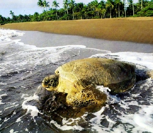 Tortuguero, Costa Rica is famous for sea turtles