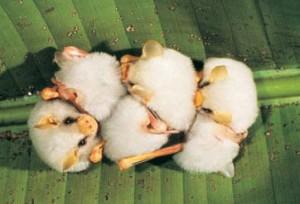 Costa Rica is important bat conservation refuge