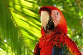 Scarlet Macaws still fly free in Costa Rica