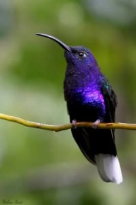 Violet Sabrewing Hummingbird Costa Rica