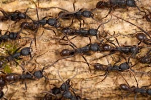 Army ants in Costa Rica