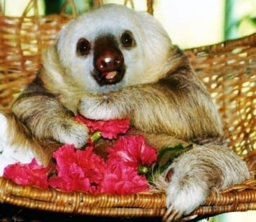 Famed Sloth Sanctuary is a fun Puerto Viejo Costa Rica Tour