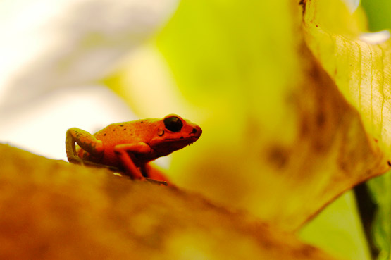 Best place to see frogs in Costa Rica: Veragua Rainforest