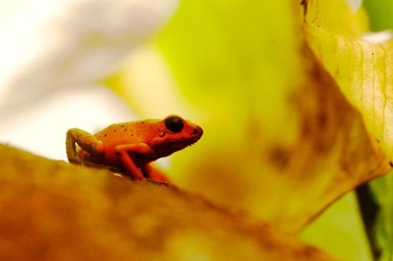 Costa Rica Frogs at Veragua