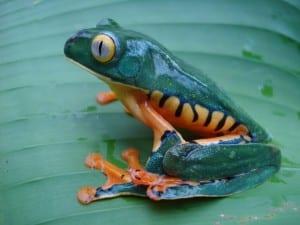 Rainforest frog at Veragua