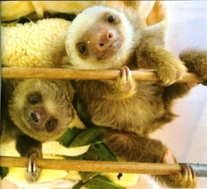 Sloth babies at the Sloth Sanctuary