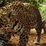 Jaguar at Corcovado
