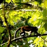 Howler monkey at Sensoria