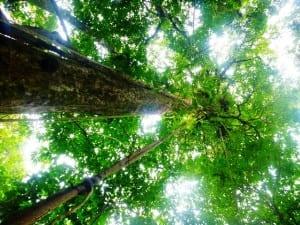 Tall trees at Sensoria