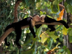 White-faced monkeys at Veragua Rainforest