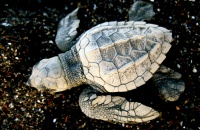 Baby sea turtle at Ostional National Wildlife Refuge in Costa Rica