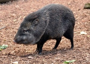 Portasol wildlife - Collared peccary
