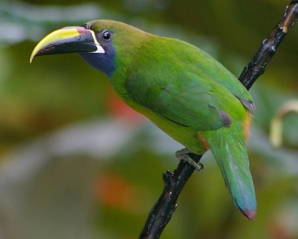 Emerald Toucanet Birds - Emerald Toucanet