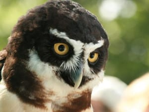 Rincon Birds - Spectacled Owl