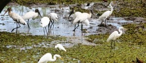 Wetland birds at Maquenque Lodge