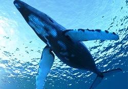 Humpback whale, Golfo Dulce