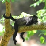 Howler monkeys in Costa Rica