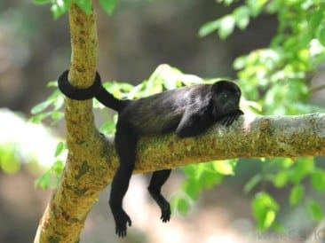 Monkeying around on the Osa Peninsula Costa Rica
