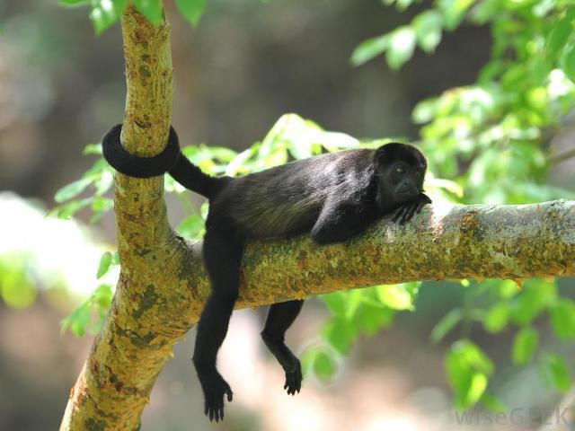 Monkeying around on the Osa Peninsula Costa Rica
