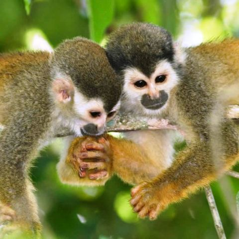 Squirrel Monkeys in Osa, Costa Rica