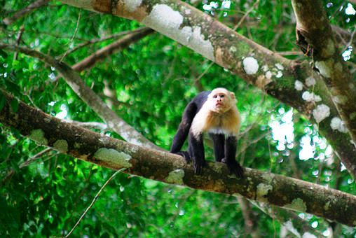 White-faced monkey at Playa Nicuesa