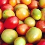 Organic tomatoes at Hacienda Okhra