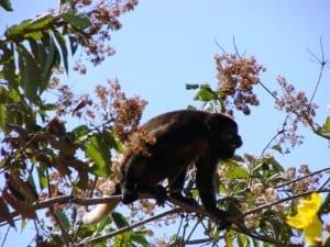 Karen Mogensen Reserve - howler monkey