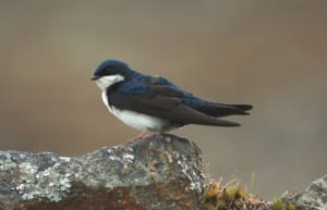 Migratory Birds - blue and white swallow