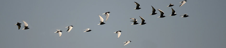 Migratory Birds - swallows flying