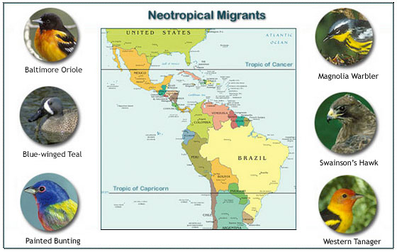 Neotropical bird migrants, image by Cornell University