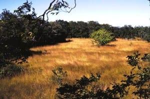 Jaragua grass in Guanacaste Costa Rica