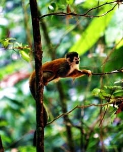 Squirrel monkey Costa Rica, photo by Titi Conservation Alliance