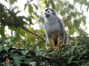 Squirrel monkey Manuel Antonio, photo by Titi Conservation Alliance