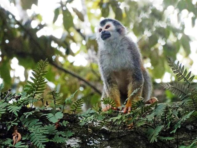 Manuel Antonio National Park residents help save Costa Rica squirrel monkeys