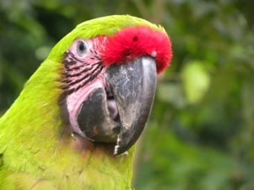 Great Green Macaws return to northern Costa Rica Eco Lodge