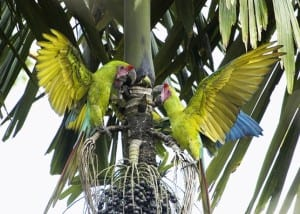 Great Green Macaws at Maquenque Lodge